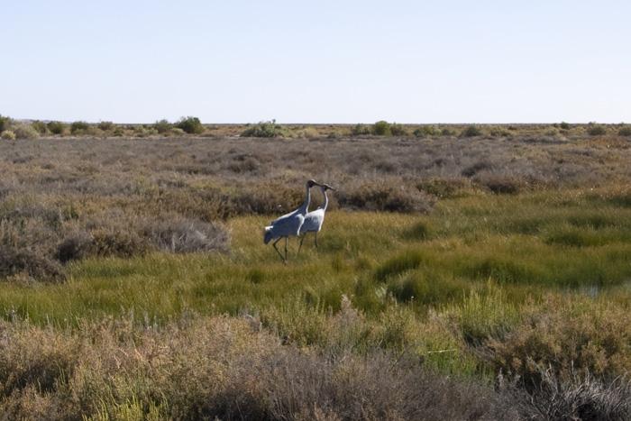 Brolgas on the Coward Springs wetlands