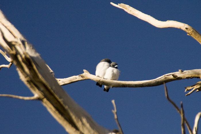 Birds in the wetlands around Dalhousie Springs