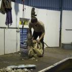 Shearing at the Brown\'s farm