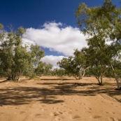 A dry creek and gums on the Oodnadatta Track between Oodnadatta and Dalhousie Springs