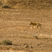 A dingo on the way into Dalhousie Springs