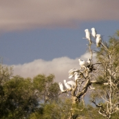 Sulphur-crested cockatoos in the wetlands around Dalhousie Springs