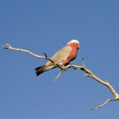 A galah in the wetlands around Dalhousie Springs