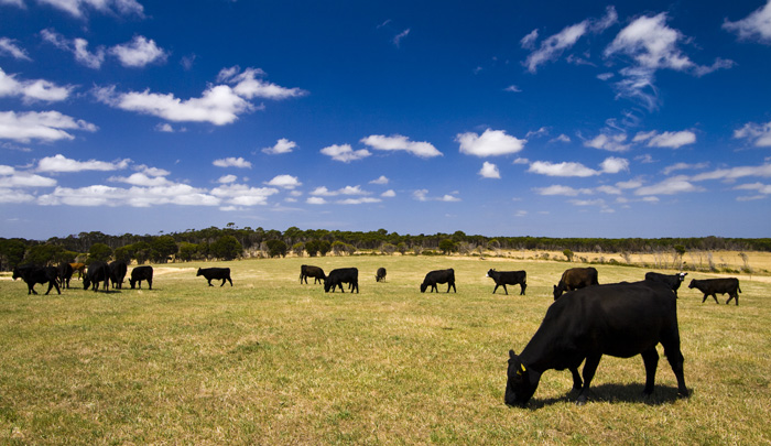 Cattle on Grant\'s farm