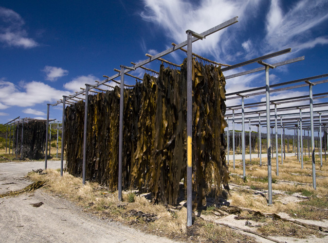 Kelp drying on the racks