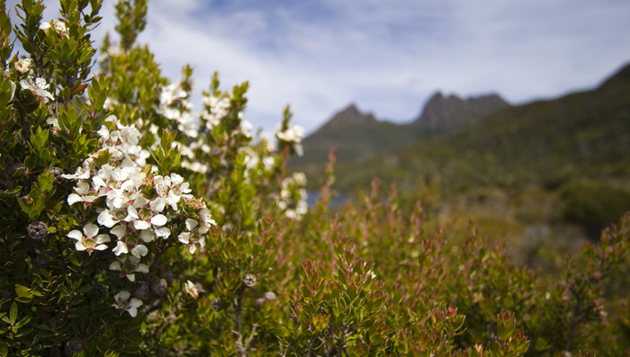 Wildflowers and Cradle Mountain