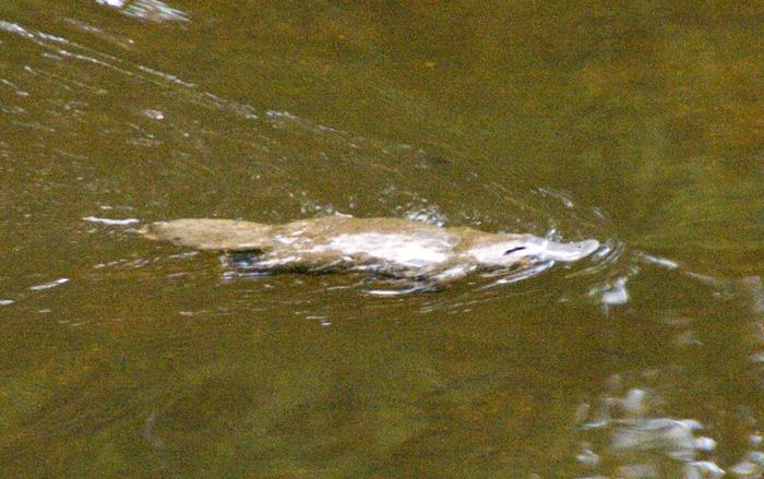 A Platypus in Fern Glade