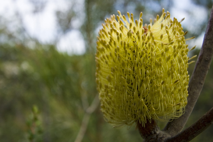 Banksia in Freycinet National Park
