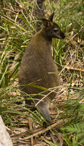A wallaby in Freycinet National Park