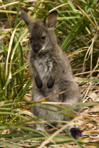 A tiny joey in Freycinet National Park