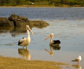Pelicans in front of our campsite in Coles Bay
