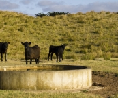 Grant\'s cattle on King Island