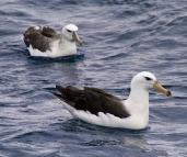 Albatross shadowing Kingfisher