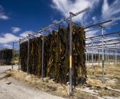 Kelp drying on the racks