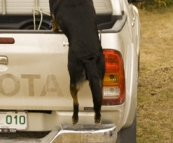 \'D the Dog\' loading into the Hilux