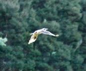 A kookaburra in Fern Glade