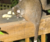 Feeding Ringtail Possums at Mike's house in Burnie