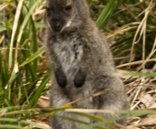 A tiny joey in Freycinet National Park