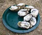 Fresh oysters in Saint Helens
