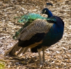 Local peacocks at the Cataract Gorge cafe