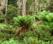 Rainforests near Didleum Plains