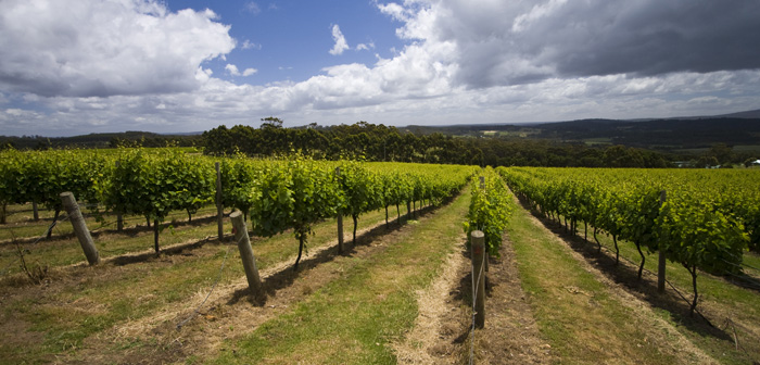 The vineyards at Somerset Hill Wines