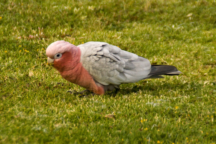 A galah at Ocean Beach