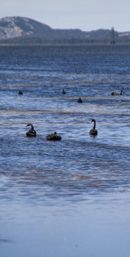 Black Swans in Princess Royal Harbour near Albany