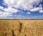 Picturesque fields of grain around Kalbarri