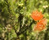 Wildflowers in Kalbarri National Park