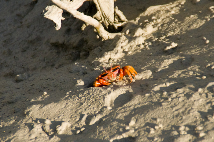Colorful mud crabs in Cootenbrand Creek at Cape Keraudren