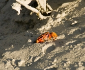 Colorful mud crabs in Cootenbrand Creek at Cape Keraudren