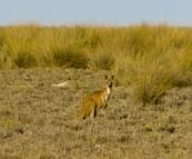 A kangaroo at Cape Keraudren