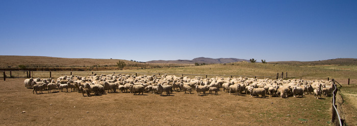 Sheep in for shearing on Partacoona Station