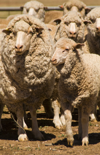 Wooly sheep ready for shearing on Partacoona Station