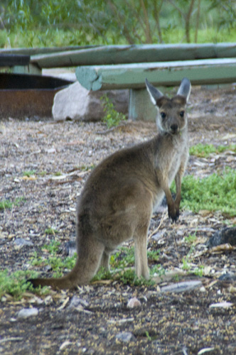 A visitor to our campsite at Mount Remarkable