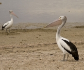 Pelicans on the beach in Streaky Bay
