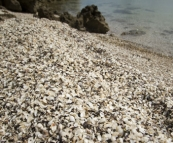 Millions of shells making up the beach at Black Springs