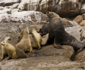 Australian Sea-Lions in Boston Bay