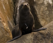 A New Zealand Fur Seal in Boston Bay