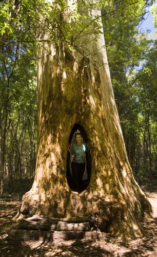 Lisa in the \'Walk Through Karri\' in Beedelup National Park