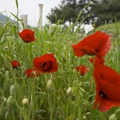 Poppies along the street leading to Ephesus\' harbor