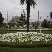 Tulips and the Blue Mosque