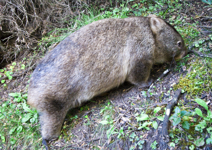 A Hairy-Nosed Wombat on our hike to Pillar Point