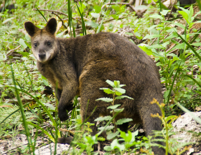 A friendly wallaby on the way to Sealers Cove