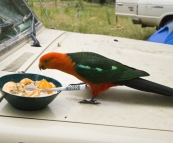 A male Crimson Rosella taking a liking to my breakfast at our campsite at Noonans Flat