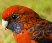 Friendly Crimson Rosellas at our campsite at Tidal River
