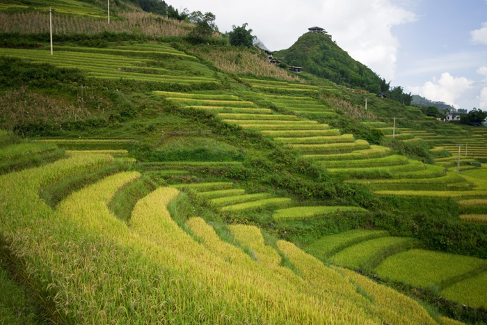 Rice Paddies between Cat Cat Village and Sapa