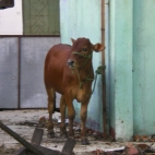 We saw this cow on a spit the day after this photo was taken!