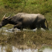 A water buffalo cooling off in the rice paddies in the countryside north of Hoi An
